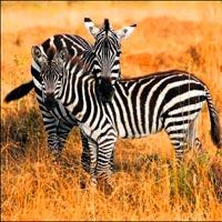 Zebra Çizgilerinin Sırrı: Sineksavar