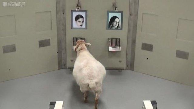 Koyunlar insan yüzlerini tanıyor